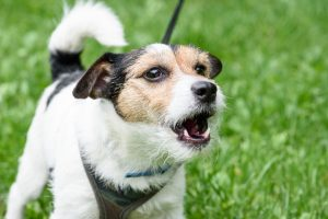 Fluffy three color Jack Russell Terrier